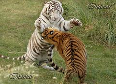 tigres (Marina-Inamar) Tags: jugando tigres cachorro zoo temaiken argentina buenosaires pareja duo compañeros compinches hermanos felinos animales animal