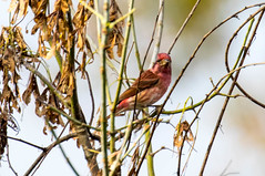 7K8A8378 (rpealit) Tags: scenery wildlife nature hyper humus purple finch bird