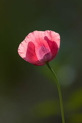 Lone Poppy (mclcbooks) Tags: flower flowers floral poppy poppies denverbotanicgardens colorado