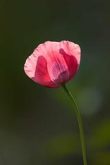 Lone Poppy (mclcbooks) Tags: flower flowers floral poppy poppies denverbotanicgardens colorado
