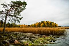 Autumn (Joni Mansikka) Tags: autumn nature outdoor trees foliage rocky colours reeds sea landscape grey sky ruissalo turku suomi finland atx280afpro tokinaaf2880mmf28