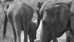 dont get too close (tsd17) Tags: elephants srilanka udewalewenp wildlife asian blackwhite