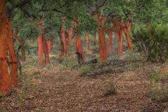 R17_7080  105 mm angle (ronald groenendijk) Tags: cronaldgroenendijk 2018 rgflickrrg copyrightronaldgroenendijk corkoak extremadura kurkeik landscape nature natuur natuurfotografie oak outdoor spain spanje tree wood