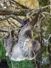 Sloth in the tree (Tambako the Jaguar) Tags: sloth slow mammal female cute upsidedown branch tree hanging moving portrait walter zoo gossau switzerland nikon d5
