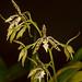 Epidendrum prismatocarpumr – Merle Robboy