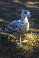 RatWithWings1 (Ke7dbx) Tags: seagull seagulls birds animals animalphotography photo photography nature outdoors fortwarden fortwardenstatepark summer stateparks washington washingtonstate