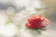 Wenn Rosen träumen... (angelika.kart) Tags: natur rose rosa rot makro blüte blumen bokeh flora herbst