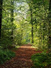 Upperford Copse Wickham (martin_swatton) Tags: upperford copse wickham forest beer forestofbeer meonvalley hampshire uk england woods autumn colours olympus omd em1 mkii mzuiko 1240 28 pro polariser cpl olympus1240mmf28