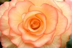 Begonia (Seventh Heaven Photography **) Tags: 126th shrewsbury flower show august 2013 nikon d3200 flowers flora blooms shropshire england begonia macro closeup petals
