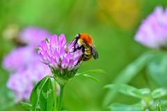 Bombus cognatus (antares21R) Tags: bee abeja abejorro trébol bumblebee clover field meadow prado bombuscognatus
