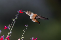 A Little Drink (Patricia Ware) Tags: 500mmf4lisusm allenshummingbird backyard birdsinflight california canon manhattanbeach multipleflash selasphorussasin tripod ©2016patriciawareallrightsreserved specanimal
