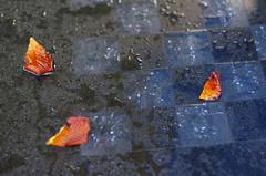 Checkmate with autumn (Baubec Izzet) Tags: baubecizzet pentax nature autumn leaves