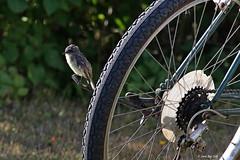 1.14437 Moucherolle phébi / Sayornis phoebe / Eastern Phoebe (Laval Roy) Tags: oiseaux aves birds lavalroy bassaintlaurent quebec moucherollephébi sayornisphoebe easternphoebe passeriformes tyrannidés