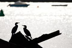 _DSC1252 (Ouverture Sauvage) Tags: cormoran cormorant black white jaune noir blanc épave bateau boat ship oiseau oiseaux bird birds sea mer ciel sky nikon d7200 sigma 150600 ireland irlande eire wexford