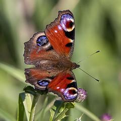 Aglais io (Ouwesok) Tags: canoneos80d tamron5063150600mm aglaisio dagpauwoog vlinder insect oostvaardersveld