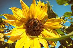 end of summer bee and sunflower (annapolis_rose) Tags: flowers sunflower bee endofsummer campus ubcgardens ubc vancouver