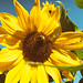 end of summer bee and sunflower