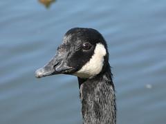 Canada goose (Deanne Wildsmith) Tags: goose canadagoose staffordshire stowepool lichfield bird