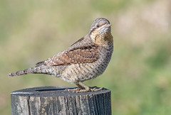 DSC5809  Wryneck... (jefflack Wildlife&Nature) Tags: wryneck birds avian animal animals wildlife wildbirds woodlands heathland hedgerows heathlands migrant summermigrant songbirds woodpecker woods norfolk nature jefflackphotography wildlifephotography