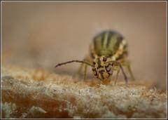 Jordanathrix nr superba (Ed Phillips 01) Tags: jordanathrix nr superba collembola springtail macro mpe staffordshire