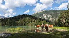 "Austrian ""wildlife"" (2)! (Jambo53 (catching up)) Tags: mountains bergen koeien cows bells forest meer lake wildlife nature nikond800 tamron2470f28 copyrightrobertkok austria oostenrijk"