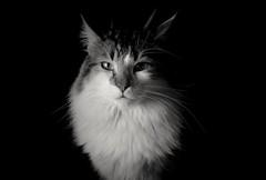 Máximo 08102018 (mcg0011) Tags: gato cat katt kot bw monocromatico blancoynegro blackandwhite manuelcarrasco hauskatze chat
