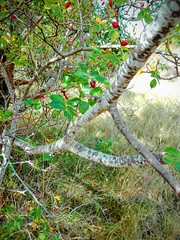 Madroño o alborto (Arbustus unedo) (quintanAopio) Tags: árbol caderechas bureba burgos silvestre autóctono