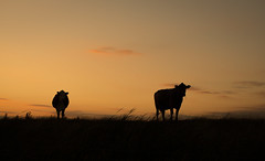 What You Looking At? (music_man800) Tags: sunset sun set evening dusk night dark afternoon late end yellow orange pink sky cloud cow farm animal silhouette cows animals outside outdoors nature natural light lighting spectacular golden hour gold pretty beautiful blue house north fambridge essex uk united kingdom ewt wildlife trust reserve nr river crouch canon 700d adobe lightroom edit creative arty artistic photography landscape scenery up