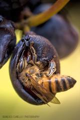 L'ape nell'acino (tampurio) Tags: ape bee grape grapes wineyard vineyards acino uva natura nature macro insetti collieuganei euganean hills colli euganei