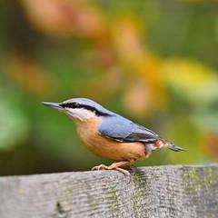 (lucamarasca1) Tags: altoadige natura dslr fauna avifauna uccelli birds details d5500 wildlife 150500 sigma nikon birdwatching nature