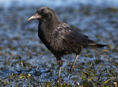 American Crow, searching for food in eelgrass at low tide (Robyn Waayers) Tags: americancrow corvusbrachyrhynchos crowcrows corvidae robynwaayers crowsforaging crowsforagingonbeach