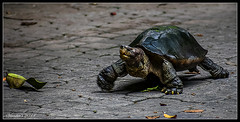 One Giant Step (VERODAR) Tags: tortoise wildlife animal ipoh perak verodar veronicasridar nikon fantasticnature