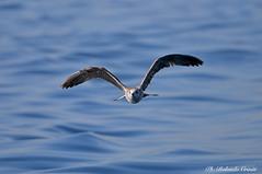 Gabbiano _060 (Rolando CRINITI) Tags: gabbiano gabbiani uccelli uccello birds ornitologia evolution costaltrip viareggio natura