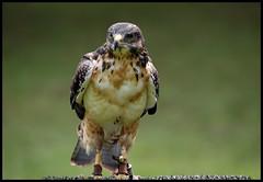 """Hawk (Millie Cruz """"Catching up in weekend"""") Tags: raptor bird prey nature animal border hawk canoneosrebelt6i tamron18400mmf3563diiivchld portrait"""
