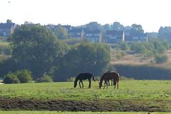 _MG_2066 (Yorkshire Pics) Tags: 2509 25092018 25thseptember 25thseptember2018 horse horses