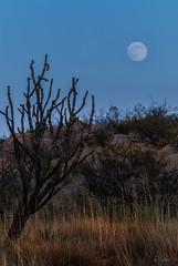 Cholla and Moonrise -- DSC_7107 (RRobertsphoto) Tags: cholla newmexico moon full desert