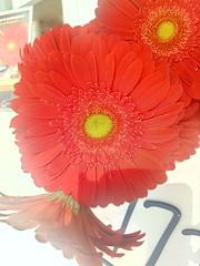 Gerbera (Cercatore) Tags: picoftheday hdrphotography flowerstagram macrophotography macro huaweiy5 hdr nature fleurs huawei fiori photooftheday natura flowersinstagram flowers cercatore hdrphoto