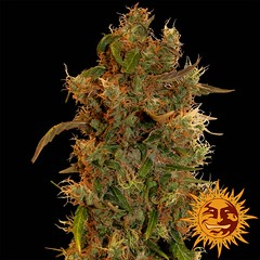 Unknown (Watcher1999) Tags: 8 ball kush hindu thc cannabis weed medical marijuana seeds growing strain plant weeds smoking ganja legalize it