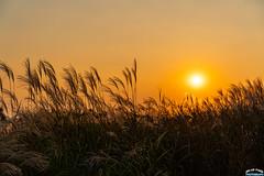 Sunset on Reed forest. (Tachial) Tags: fe sun carlzeiss lce7rm3 칼자이스 sony sunset fullframe sel55f18z 소니 a7r3 55mm 마포구 서울특별시 대한민국 kr