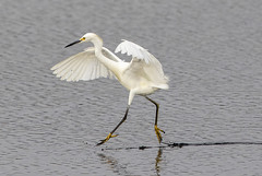 light on his feet (fins'n'feathers) Tags: bombayhooknwr delaware animals birds de midatlantic wildlife egret snowyegret tiptoeing walkingonwater wingspan wadingbird white
