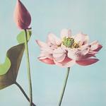 Beautiful photomechanical prints of Lotus Flowers (1887-1897) by Ogawa Kazumasa. Original from The Rijksmuseum. Digitally enhanced by rawpixel. thumbnail