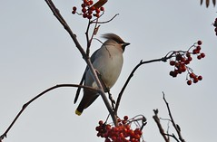 Waxwing 2018 (Dom's Photo's) Tags: waxwing bird birdwatching ornithology wildlife nature feathered winged birdphotography naturephotography wildlifephotography outdoor outdoorphotography