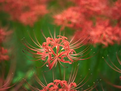 巾着田 (taotti_01) Tags: mamiya zd 55mm f28 巾着田 flower japan