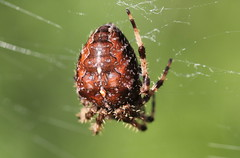 Deep red (Harvestman at Large) Tags: araneusdiadematus gardenspider web arachnid