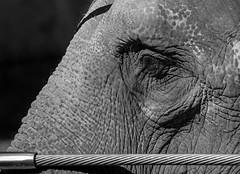 National Zoo Elephant (jtgfoto) Tags: approved zoo nationalzoo washingtondc washington nature animal sonyalpha sonyimages park smithsonian smithsoniannationalzoologicalpark woodleypark blackandwhite bnw blackwhite