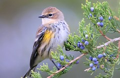 yellow-rumped warbler near Cardinal Marsh IA 653A1332 (lreis_naturalist) Tags: yellowrumped warbler eating red cedar tree berries cardinal marsh winneshiek county iowa larry reis