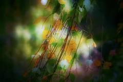 Soft .... 🍁 (Julie Greg) Tags: autumn autumn2018 colours colour canon soft tree leaf light park england kent wood forest