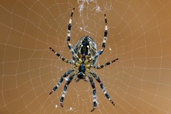 On the Web (Evoljo) Tags: spider nature eightlegs arachnid web spinning garden uk swindon wiltshire nikon d500 macro