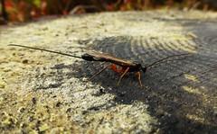 Ichneumon Wasp..x (Lisa@Lethen) Tags: rhyssa persuasoria ichneumon wasp insect nature wildlife scotland macro bug big ovipositor