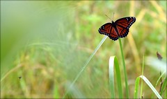 Who Goes There (gatorgalpics) Tags: butterfly sweetwaterwetlandspark inajungle foliage hidden twoinsects blurry flurry eplore79